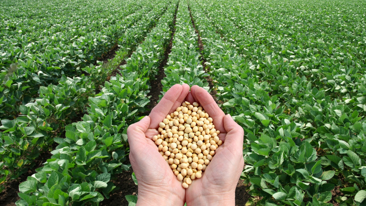 Five things about soya beans