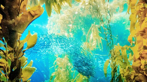 Scientists believe that millions of species of plants and animals have yet to be discovered. Alt: A school of fish swim underwater among yellow and green sea plants.