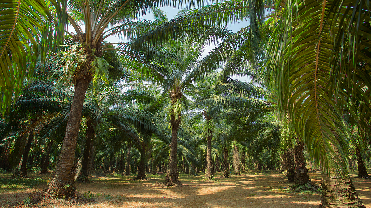 Five things about palm oil
